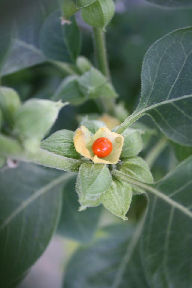 ROYAL GREEN BIO Ashwagandha (ašvaganda) mg kapsulės N60 - taf.lt
