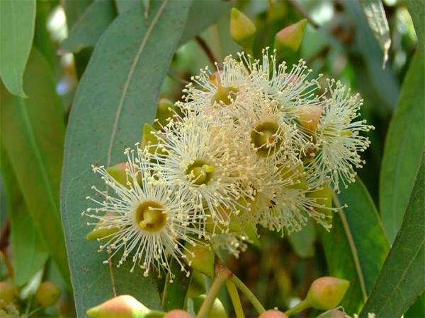 Eukaliptų lapai (Eucalypti Folium)