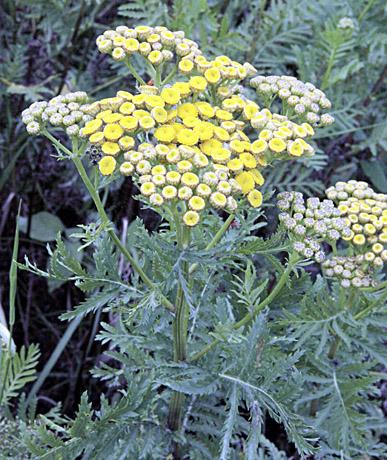 Širdį maitinantys augalai: nuo česnako iki uogų ir žolelių