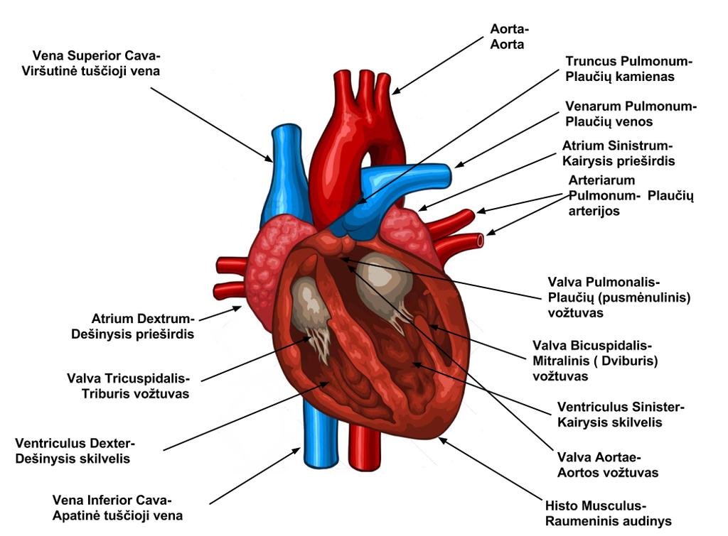 hipertenzijai buvo suteikta g kategorija