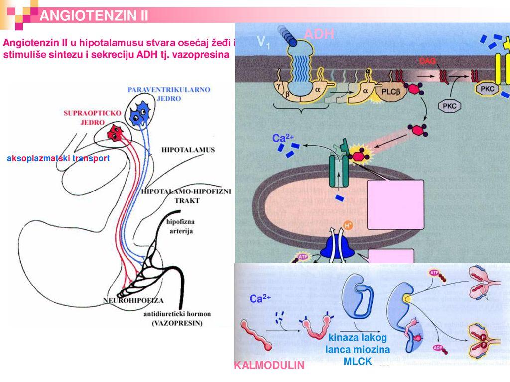 hipotalamo hipertenzija