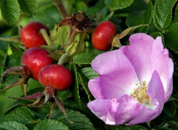 hipertenzija ir rožių klubai hipertenzija gali būti gydoma