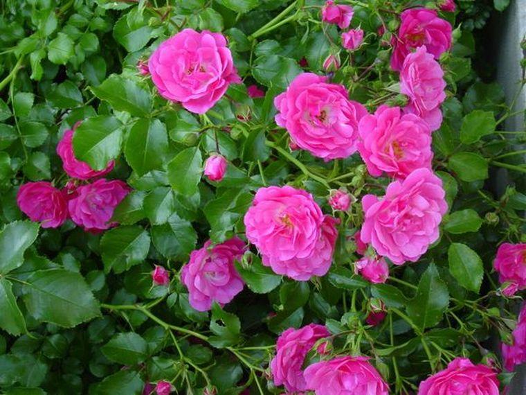 Gydomojo poveikio ir laukinės rožės šaknų panaudojimas