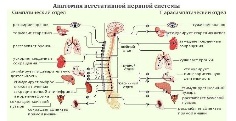 Širdies ir kraujagyslių sistema   taf.lt