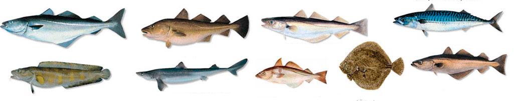Raudonosios žuvys - tipai ir pavadinimai - Sultys