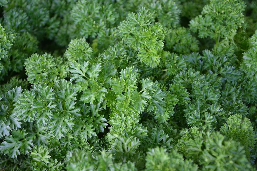 hipertenzija augalų nuotraukos