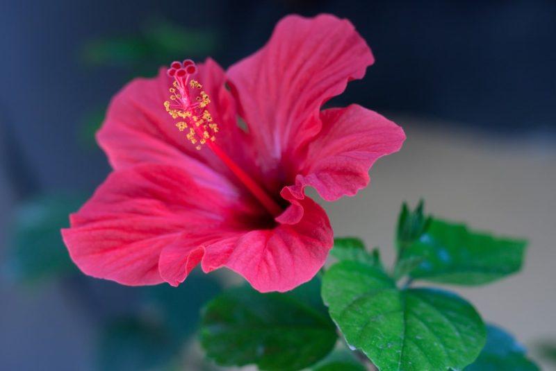hibiscus nuo hipertenzijos