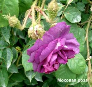 hipertenzija ir rožių klubai